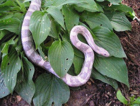 lavendar corn snake picture